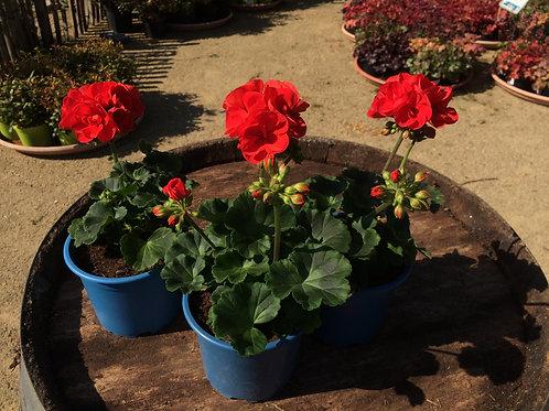 Geranium rouge vif x3