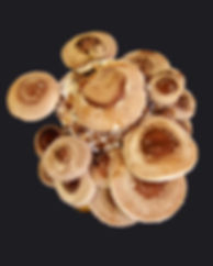 Shiitake-Mushrooms-Plugs.jpg