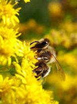 abeille.jpeg