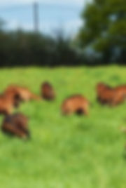 cropped-photo-chèvre-pâturage-01-1.jpg