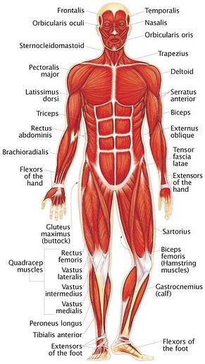 skeletal muscles front.jpg