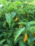 Florida Datil Pepper Hot Sauce Jacksonville Beach St Augustine