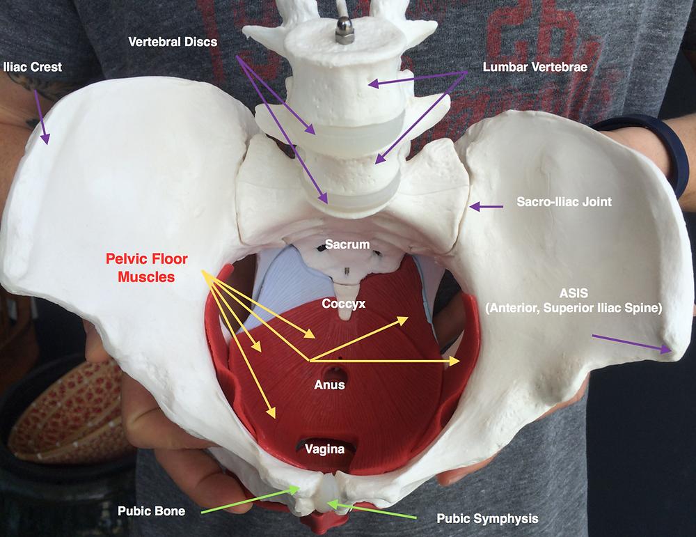 Pelvis and Pelvic Floor Muscle Anatomy
