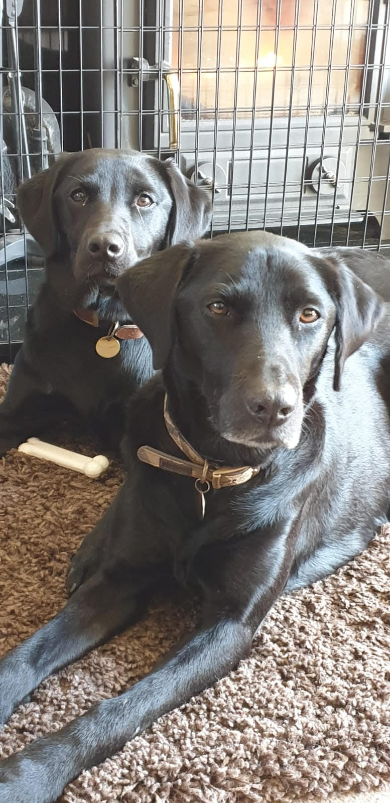 dogs. goggies, Labrador, labradors, fire detection, fire detection service, Ciqurix