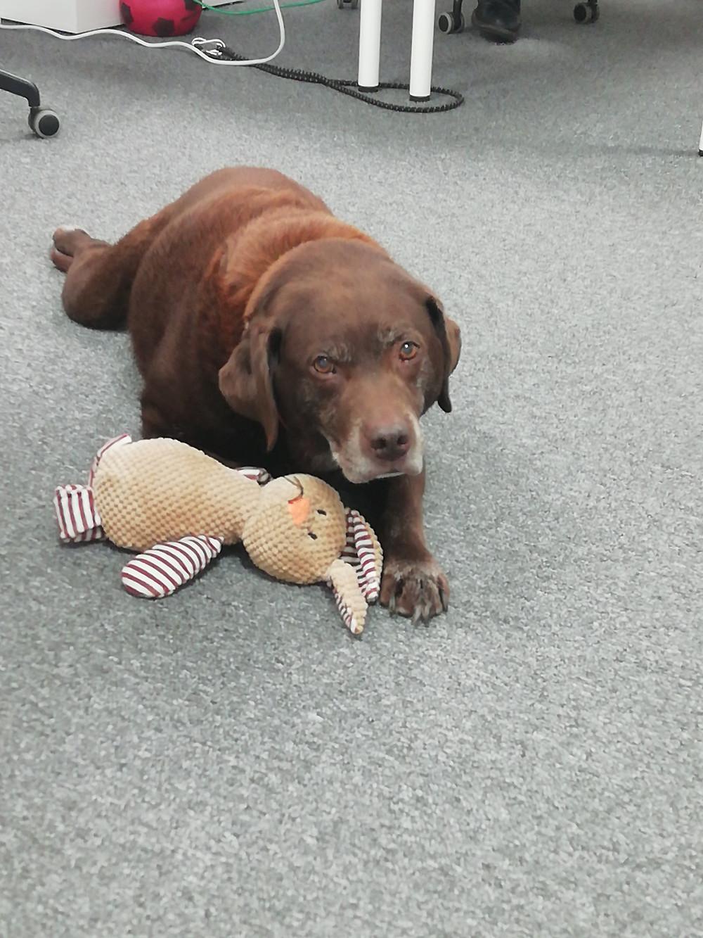 Labrador, Labrador dog, fire proection