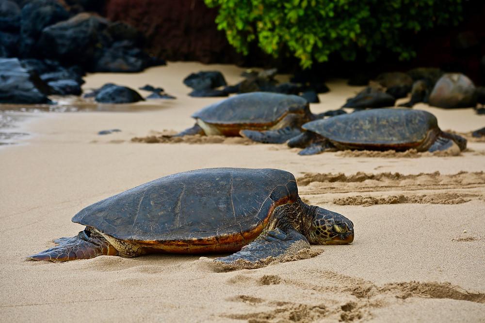 loggerhead sea turtles matter
