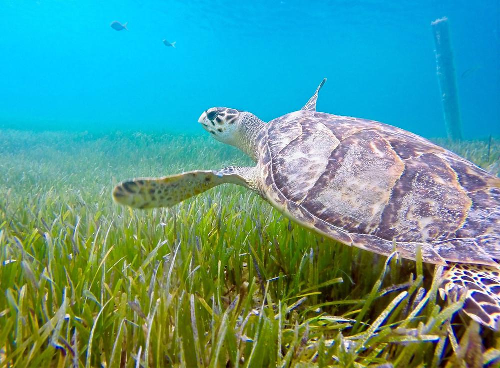 Sea turtles matter