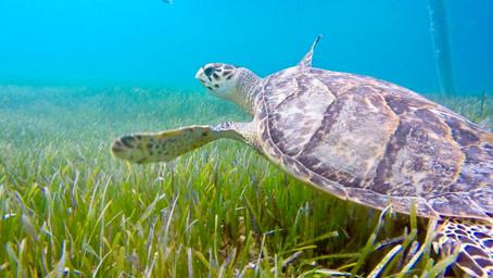 Do Sea Turtles Matter?