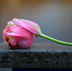 Tulip 2001.jpg