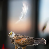 Falcon with Bells.jpg