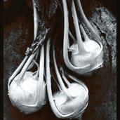 Kohlrabi, 1978.jpg