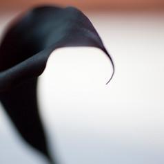 Black Calla 2006.jpg
