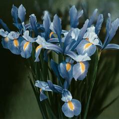 11_Iris   1979.jpg