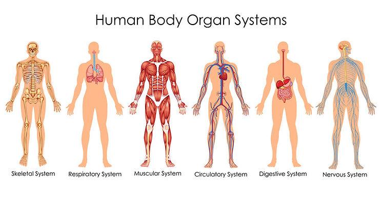 Human Body Organ Systems.jpg