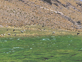 Alpakas und Lamas auf der Weide