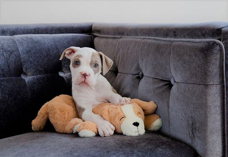pitbull pup brighter.jpg