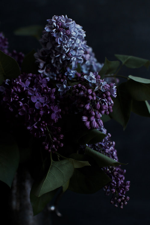 Photographic Print {chasing lilacs (iii)}