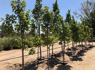 Container Shade Trees _ IMG_1265.jpg