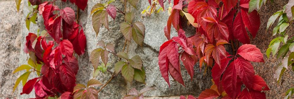Виноград девичий пятилисточковый, Parthenocissus quinquef, Engelmanni