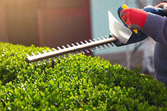 Cutting a hedge with electrical hedge tr