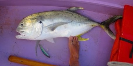 Jack Crevalle- School Bully 1 April