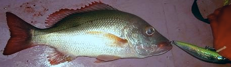 Mutton Snapper:Yellowbelly Bully