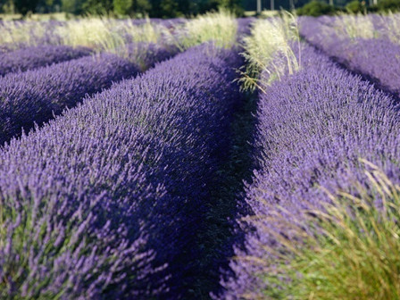 4 Irresistible Reasons To Grow Lavender In Your Garden