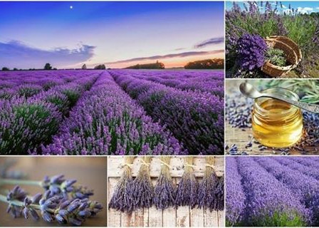The Modern uses of Lavender