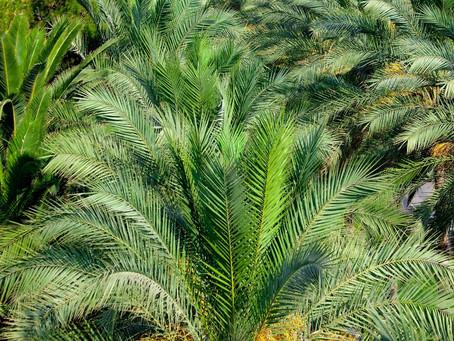 Quelques vertus du palmier * La feuille de rameaux*