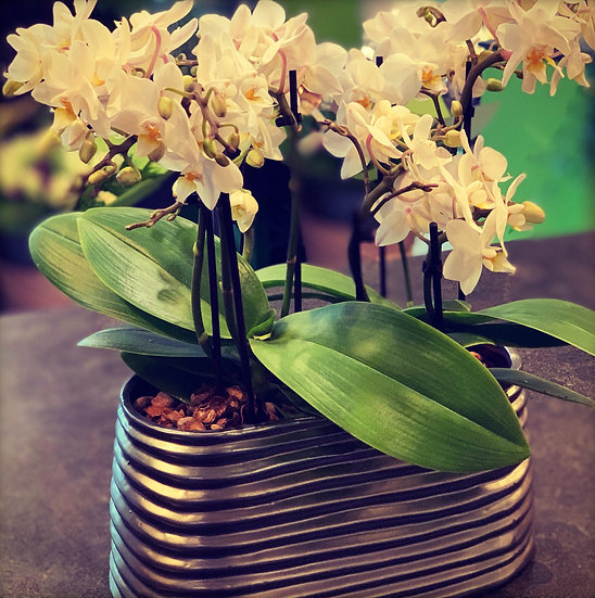 2 mini-orchideetjes (wit) in ovale pot...
