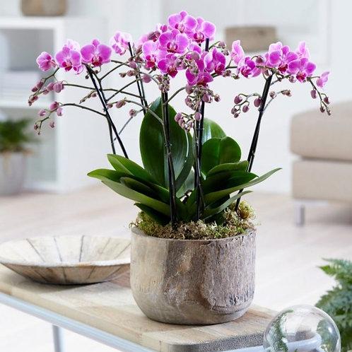 Paarse orchideeën in aarden pot