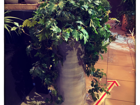 "Effe voorstellen : de ""Cissus Rotundifolia""..."