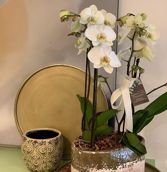 Dubbele orchidee (wit)  in aarden pot...