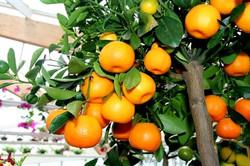 kumquat.citrus.fortunella.margarita_20