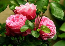 roses-279583_1280