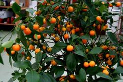 kumquat.citrus.fortunella.margarita_18