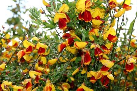 cytisus.andreanus.gullsopur.andreanus