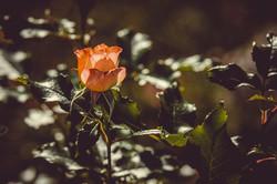 rose-3504803_1280