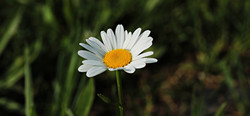 daisies-3471283_1280