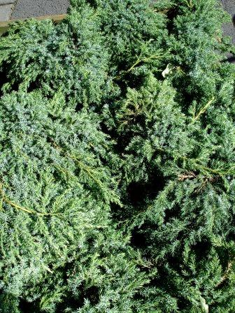 juniperus.squamata.blue.carpet