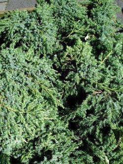 juniperus.squamata.blue.carpet