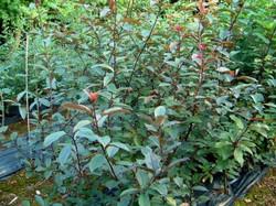 prunus.padus.colorata.blodheggur