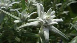 edelweiss-818414__480