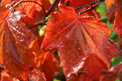 acer.platanoides.royal.red_4