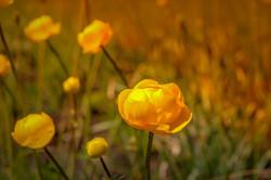 globe-flower-4126060_1280
