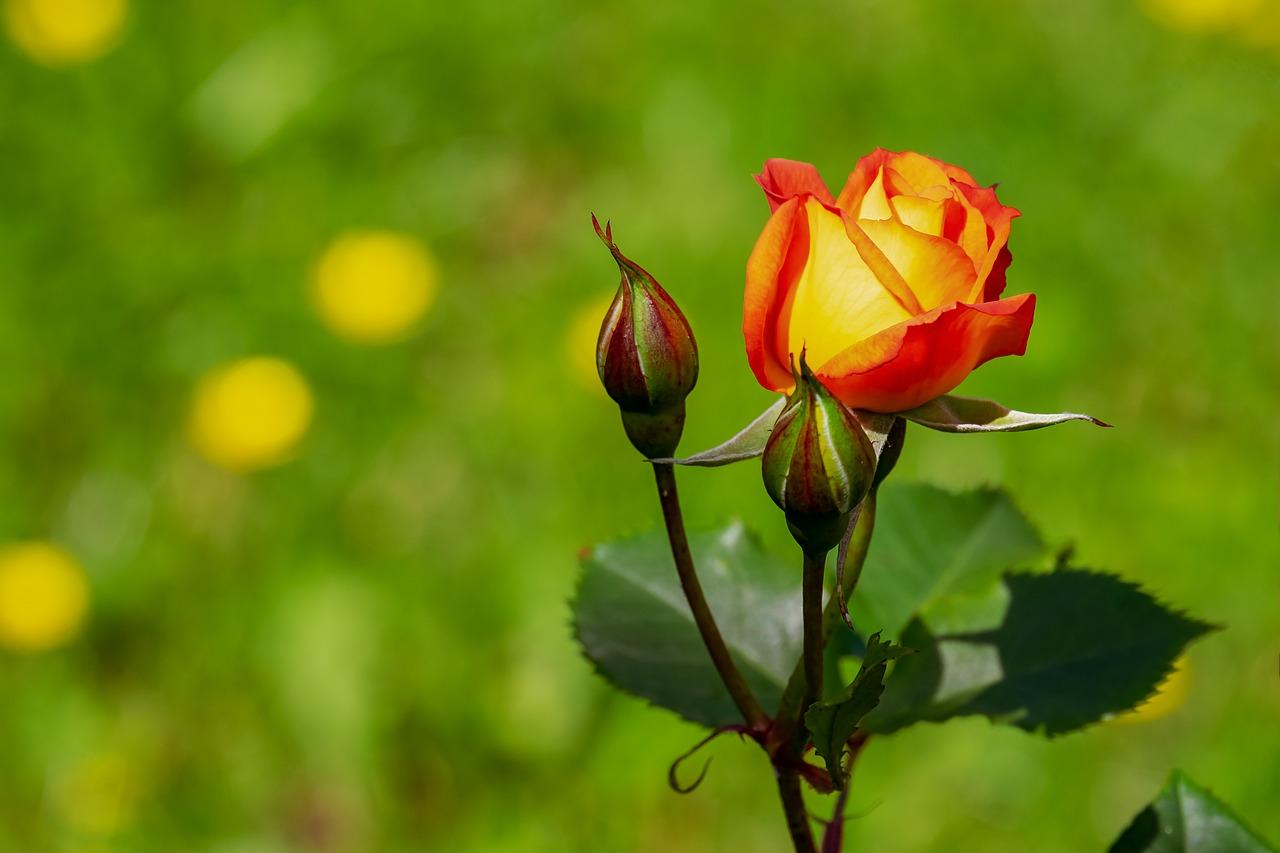 rose-3431316_1280