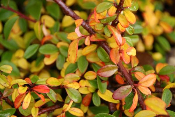 cotoneaster.dammeri.skogholm