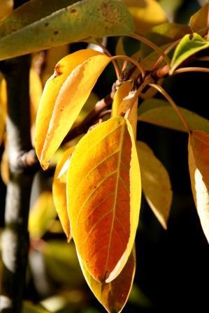 populus.trichocarpa.keisari.alaskaosp