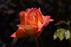 rose-4260744_1280