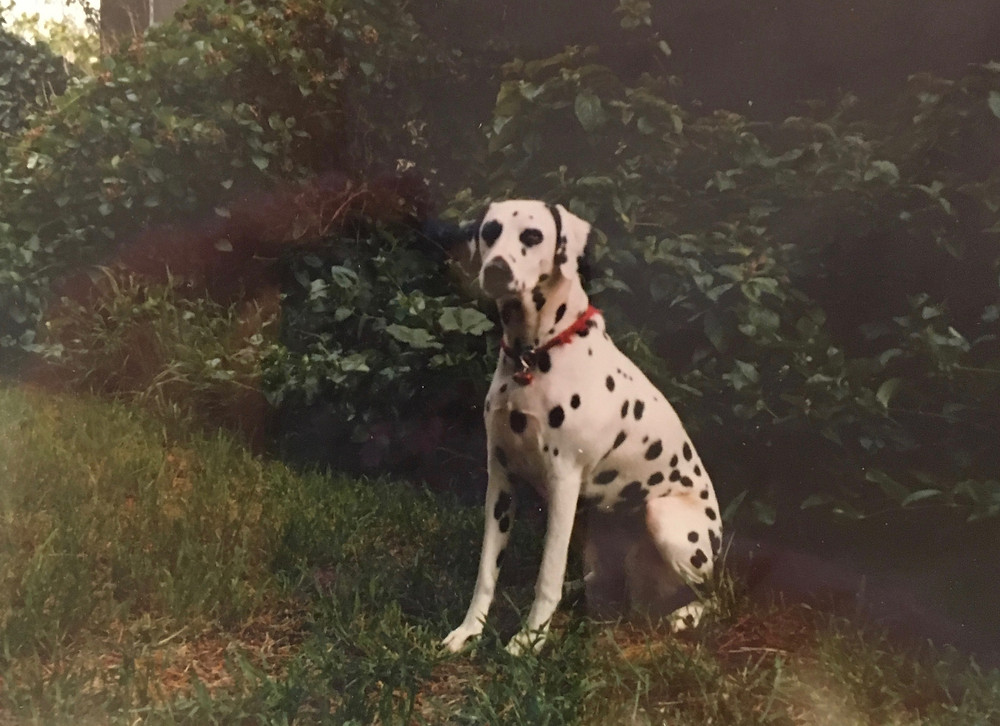 """My dog """"Gypsy Silver Shadow"""" (Shadow) in 1979.  She escaped our yard and I had to retrieve her at the local shelter."""